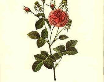 Redoute Botanical Rose Print  23