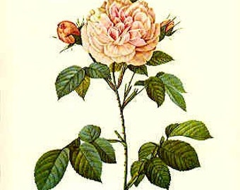 Redoute Botanical Rose Print  38