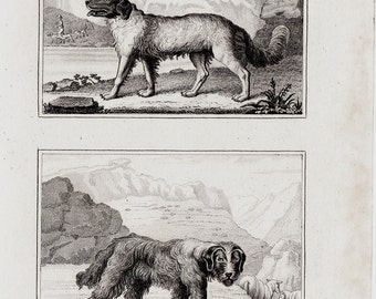 1835 antique DOG engraving, New Zealand dog and sheepdog, Scotland, by Buffon and Cuvier, 177 years old