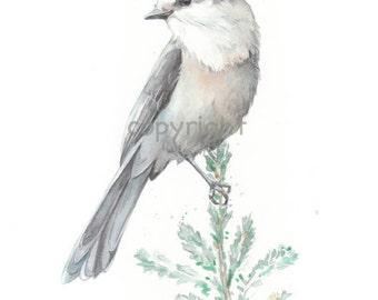 Bird, art, bird print, Watercolor, original watercolor painting art print, Wall art print, Whiskey Jack----watercolor giclee print