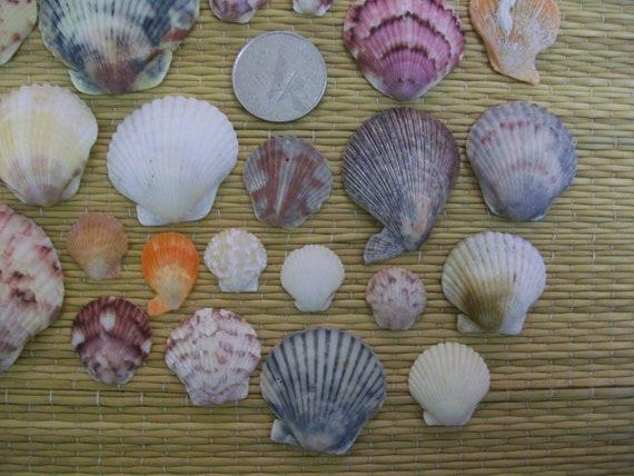 Craft shells, scallops, natural sea shells, coastal beach decor, jewelry supplies (Lot 114)