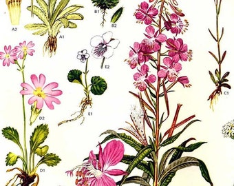 Primrose Primula Flowers Antarctica Arctic Circle Botanical Exotica Large Vintage Illustration To Frame 4