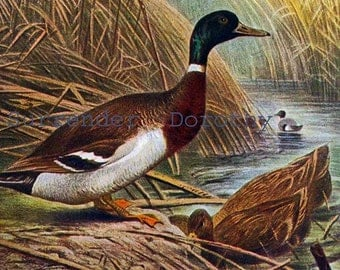 Mallard Ducks Male Female Water Bird USA Europe Edwardian Natural History Lithograph Illustration Germany To Frame