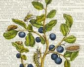 blue berries, 1600's botanical artwork