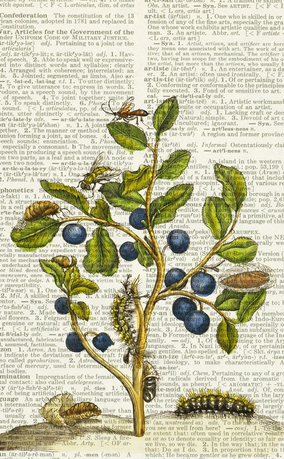 blue berries, 1600's botanical artwork