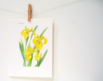 "Yellow Winter Iris - Flower Print - Vintage Book Page 1982 - 7.5 x 10"""