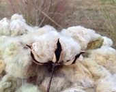 Organic heirloom cotton fiber and seeds