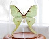 RESERVED Real Luna Moth Glass Dome Display Actias Luna Glass Dome Cloche Butterfly Display Moth Display