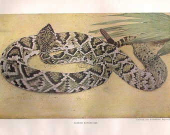 Old 1914 Print of the Rattlesnake