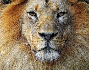 Lion - 8 x 12 Photographic Print