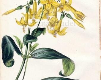 1847 Rare Vintage Botanical Print by Joseph Paxton - Leianthus Longifolius - Handcolored
