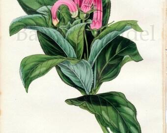 1847 Rare Vintage Botanical Print by Joseph Paxton - Centropogon Surinamsis - Handcolored