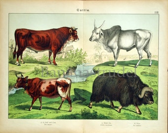1889 Antique Double Plate Chromolithograph of Cattle