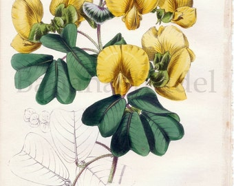 1847 Rare Vintage Botanical Print by Joseph Paxton - Amicia Zigomeris - Handcolored