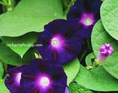 Morning glory  dark purple  seeds - garden gifts, purple flower seeds, vine seeds, gifts for new home owners