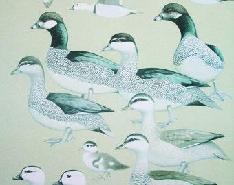 Original Vintage Colour Plate.  Bird Art. Signed. Original Poster. Bird Poster. Handbook of Australian, New Zealand and Antarctic Bird. Art.