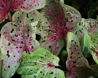 Caladium - Strap Leaf - Miss Muffett - Lot of 8 Bulbs-Stunning Chartreuse Color