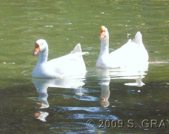 ACEO SFA Geese Reflections art photograph goose white pond nature photo nitelvr