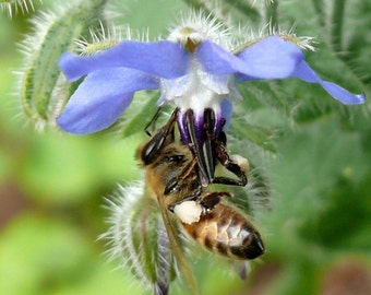 Borage, Organic Borage Seeds - Versatile Easy to Grow Herb and Bee Magnet