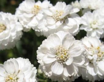 Achillea, The Pearl Achillea Seeds