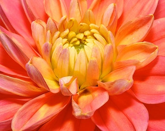 Fine Art Prints of Washington Dahlia