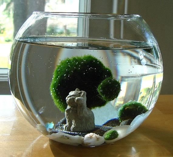 Lucky cat marimo moss balls maneki neko nano aquarium for Do fish drink water