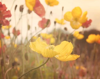 Nature Photography, Poppy Flowers, Boho, Flower Photography, Natural, Yellow, Summertime, Soft Light, 8x10 Print