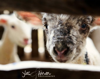 come and see - fine lamb photography - farm fresh cards