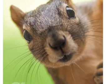 Greeting Card - Fox Squirrel - Its not Polite to Stare - Funny Staring Nosy Blank Silly Personification