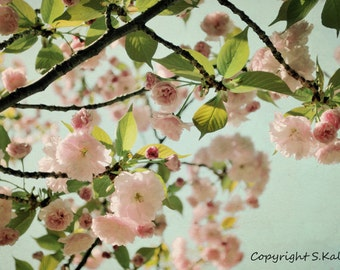 Pink Flowering Tree Photograph  Spring Blooms Pale Pink  Teal  Wall Art Nature Flower Photograph 8x12