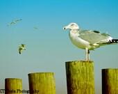 Fine Art Seagull Print, Gull Watch, beach house wall decor, blue, brown nature bird art,
