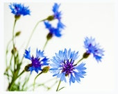 Cornflower - beautiful fine art photography of tiny, blue cornflowers on a white background - floral wall decor