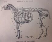 original page - 1905 MEDICAL CHART from antique medical book - sheep, skeleton
