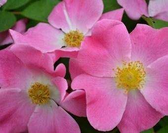 Pink Simplicity - Photograph, matted, botanical print