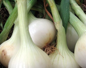 Walla Walla Onion Seeds Organically Grown Excellent Flavored Mild Sweet Onion Easy to Grow