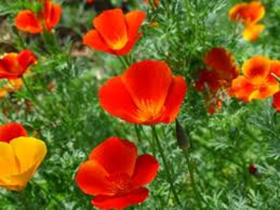 SALE California Poppy Mikado Red Annual Seed Water Wise Native Perennial