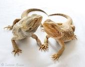 Lizard Photography - Reptile and Lizard Art - Bearded Dragon - Bearded Besties - 8x10 Fine Art Photo