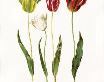 Antique Tulip Fine Art Print  - 5 x 7 - Tulipa Gesneriana - Tulip