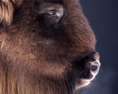 bison color photograph - european bison photo - bison photograph - closeup photo european bison - bison closeup photo color - bison portait