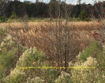 Crazy For Cattails - Near the Rain Garden at Phinizy Swamp Nature Park - Augusta, Georgia