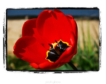 Red Tulip Cloesup Fine Art 5 x 7 Greeting Card with Red, Black, Yellow and Green White and Blue by Jonah Gilmore