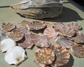 seashells baby flat scallop craft  bulk shells BEACH DECOR NAUTICAL