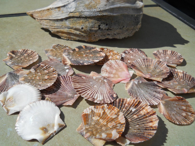 Seashells baby flat scallop craft bulk shells by - Scallop shells for crafts ...