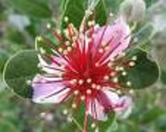 15 Strawberry Guava Seeds-1032