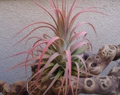 Tillandsia Concolor x Ionantha Select Red Air Plants