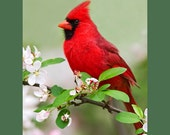 Northern cardinal on apple blossoms bird photograph- 5 x 7 matted