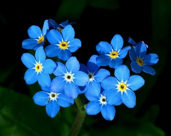 Heirloom 400 Seeds Forget Me Not Myosotis Alpestris Sea Sky Blue Perennial Garden Flower S031