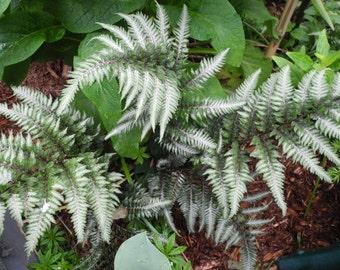 Painted Fern  plants
