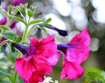 Ultra Burgundy Petunias - Flower Photo Print - Size 8x10, 5x7, or 4x6