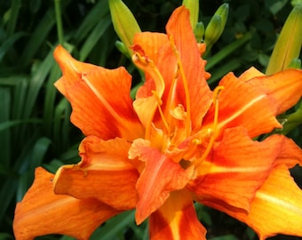 """Collection of 6 Daylily Fans """"Kwanso""""Old Fashioned Double/Triple Orange"""